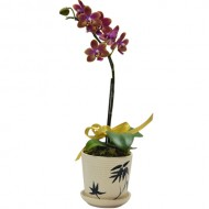 One Steam Taiwan Orchid in pot (Mini Orchid)